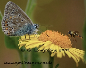 Common blue butterfly and fly