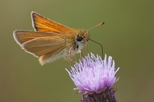 A butterfly on knapweed